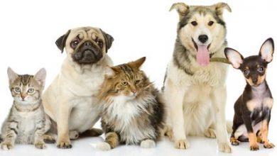 Bullige Hunderassen 390x220 - Bullige Hunderassen