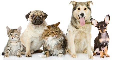 Bullige Hunderassen - Bullige Hunderassen
