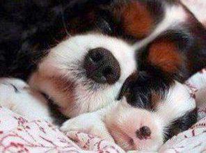 Chinesische Hunderassen Liste 296x220 - Chinesische Hunderassen Liste
