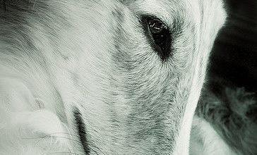 Deutscher Hirtenhund 364x220 - Deutscher Hirtenhund