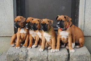 Die Hunderasse - Die Hunderasse
