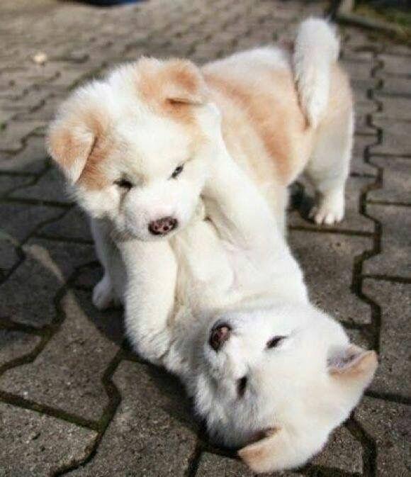 Englisch Hunderasse - Englisch Hunderasse