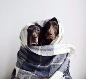 Französischer Schäferhund Bilder 300x275 - Französischer Schäferhund Bilder