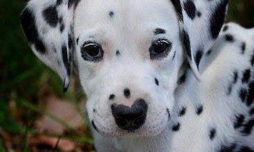 Französischer Schäferhund Bilder Für Facebook 367x220 - Französischer Schäferhund Bilder Für Facebook