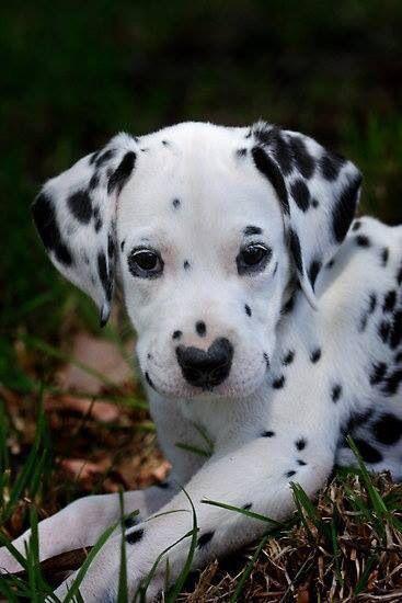 Französischer Schäferhund Bilder Für Facebook - Französischer Schäferhund Bilder Für Facebook