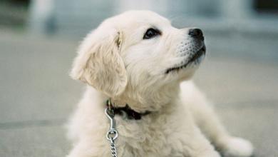 Hirtenhund 390x220 - Hirtenhund