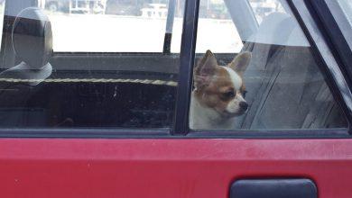 Hirtenhunde Bilder Kostenlos 390x220 - Hirtenhunde Bilder Kostenlos