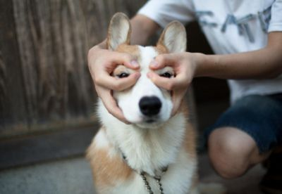 Hund Kurzhaar Groß - Hund Kurzhaar Groß