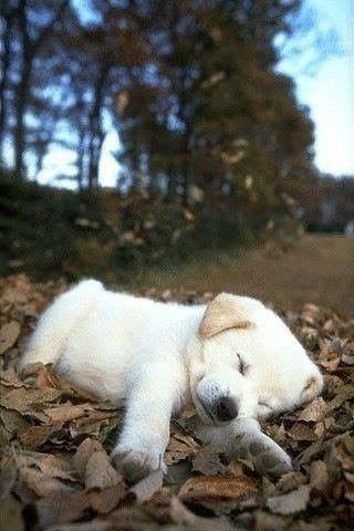 Hund Schlappohren - Hund Schlappohren