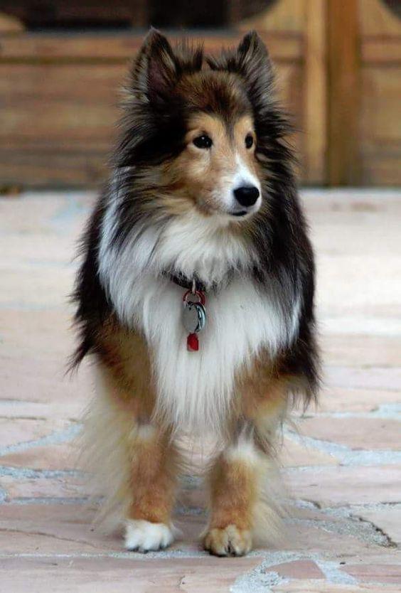 Hund Wolf - Hund Wolf