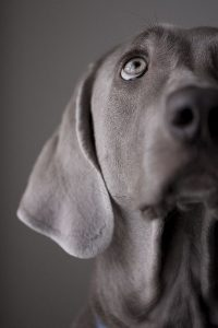 Hunderasse Ähnlich Beagle 200x300 - Hunderasse Ähnlich Beagle
