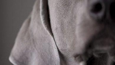 Hunderasse Ähnlich Beagle 390x220 - Hunderasse Ähnlich Beagle