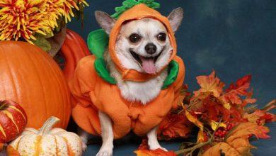 Hunderassen Kampfhunde Bilder Für Facebook 390x220 - Hunderassen Kampfhunde Bilder Für Facebook