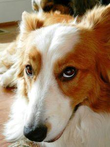 Hunderassen Kleine Hunde Liste 225x300 - Hunderassen Kleine Hunde Liste