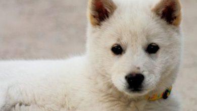 Hunderassen Mit Bild Havaneser 390x220 - Hunderassen Mit Bild Havaneser