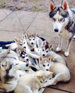 Hunderassen Mit Bilder Kostenlos Herunterladen 242x300 - Hunderassen Mit Bilder Kostenlos Herunterladen