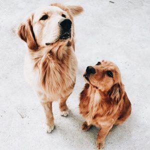 Hundewelpen Langhaar 300x300 - Hundewelpen Langhaar