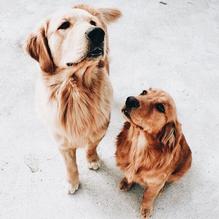 Hundewelpen Langhaar - Hundewelpen Langhaar