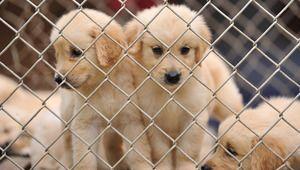 Japanische Hunderassen Liste - Japanische Hunderassen Liste