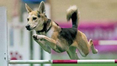 Kleine Hunderassen Übersicht Mit Bild 390x220 - Kleine Hunderassen Übersicht Mit Bild
