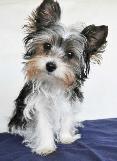 Kleine Hunderassen Liste - Kleine Hunderassen Liste