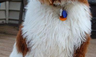 Kleiner Kurzhaariger Rassehund 371x220 - Kleiner Kurzhaariger Rassehund
