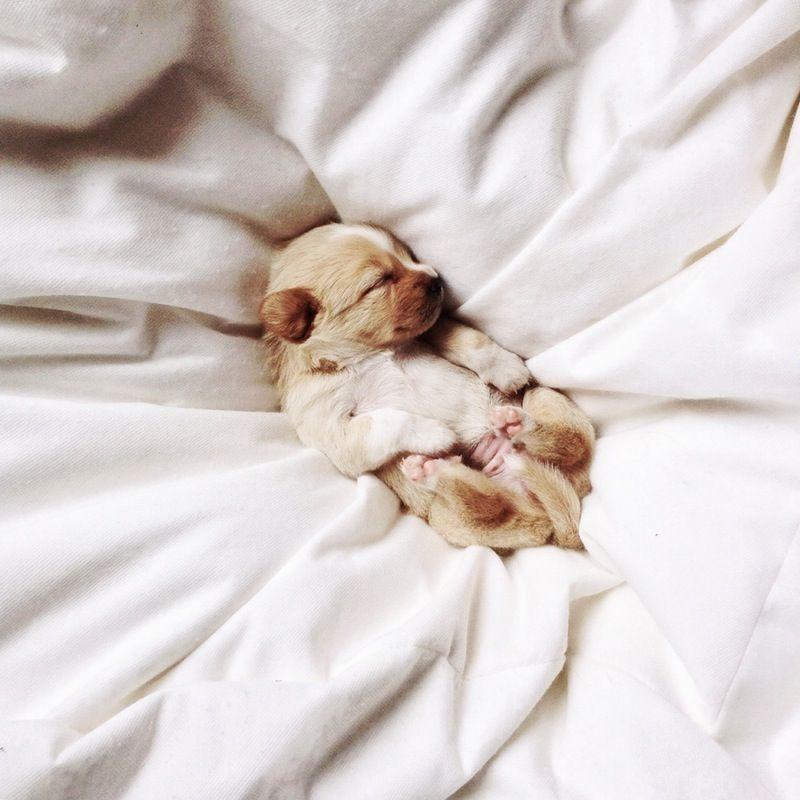 Kleiner Schäferhund Rasse - Kleiner Schäferhund Rasse