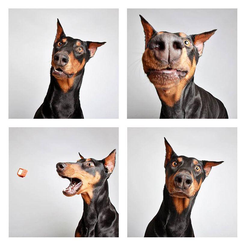 Kleiner Schäferhund - Kleiner Schäferhund