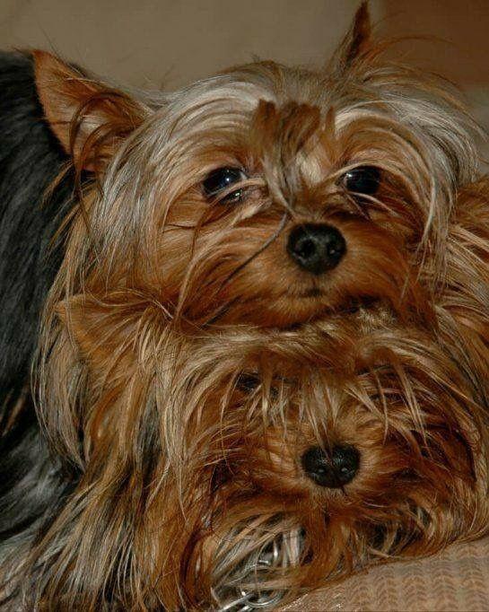 Kleinrassen Hunde - Kleinrassen Hunde