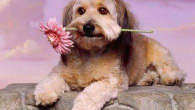 Malteser Hund Ähnliche Rassen 390x220 - Malteser Hund Ähnliche Rassen