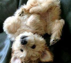 Mini Hunderassen Überblick Mit Bild 250x220 - Mini Hunderassen Überblick Mit Bild