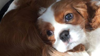 Mini Hunderassen Übersicht 390x220 - Mini Hunderassen Übersicht