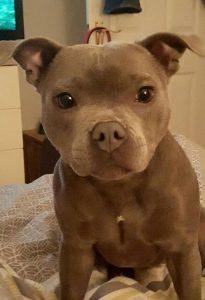 Pitbull Hund Bilder Für Facebook 205x300 - Pitbull Hund Bilder Für Facebook