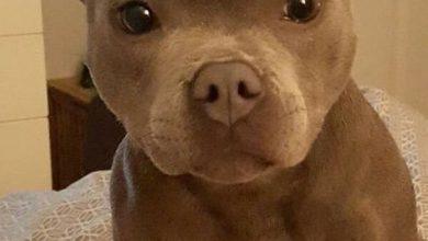 Pitbull Hund Bilder Für Facebook 390x220 - Pitbull Hund Bilder Für Facebook