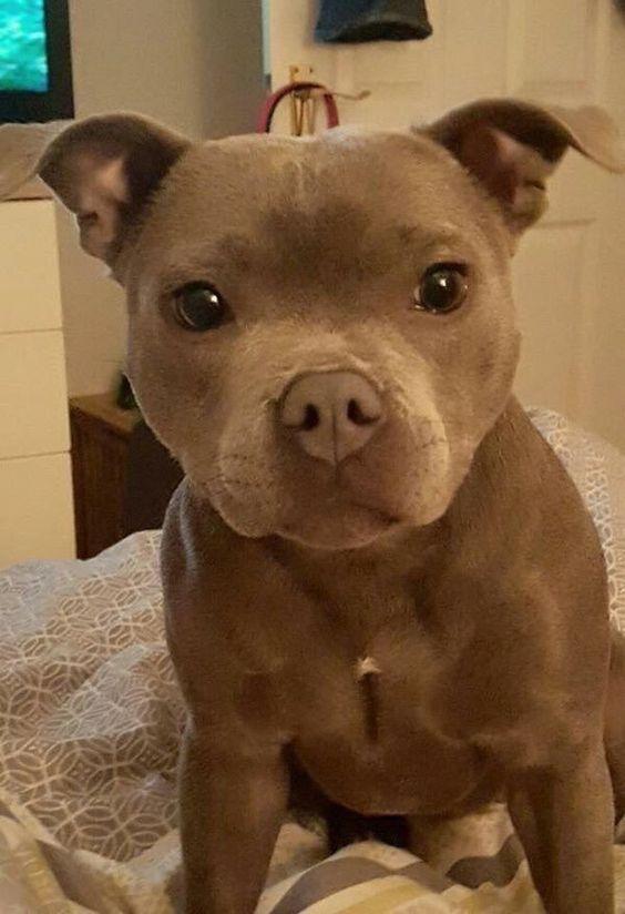 Pitbull Hund Bilder Für Facebook - Pitbull Hund Bilder Für Facebook