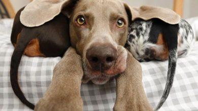 Süße Hunderassen Mit Bild 390x220 - Süße Hunderassen Mit Bild
