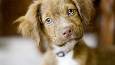 Schoßhunde Rassen 390x220 - Schoßhunde Rassen