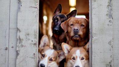 Schweizer Hunderassen Bilder 390x220 - Schweizer Hunderassen Bilder