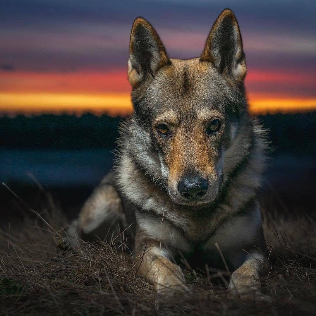 Sehr Große Hunderassen Bilder Kostenlos Herunterladen