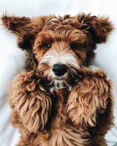 Sehr Kleine Hunderassen Mit Bild 240x300 - Sehr Kleine Hunderassen Mit Bild