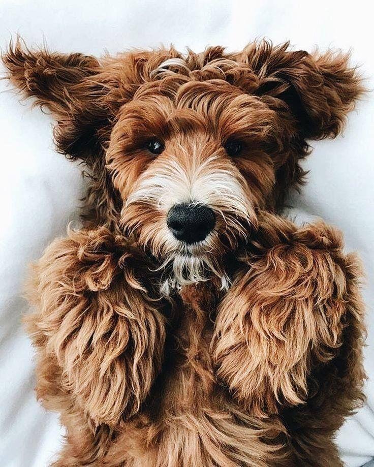 Sehr Kleine Hunderassen Mit Bild - Sehr Kleine Hunderassen Mit Bild