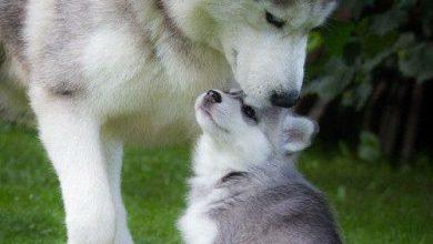 Sibirischer Hirtenhund Bilder 390x220 - Sibirischer Hirtenhund Bilder