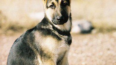 Sibirischer Hirtenhund Bilder Für Whatsapp 390x220 - Sibirischer Hirtenhund Bilder Für Whatsapp