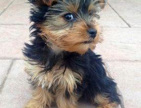 Sibirischer Hirtenhund Bilder Kostenlos 286x220 - Sibirischer Hirtenhund Bilder Kostenlos
