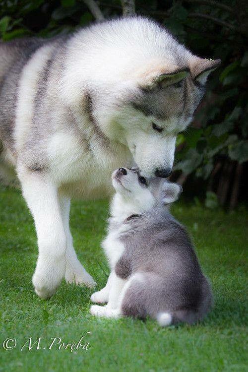 Sibirischer Hirtenhund Bilder - Sibirischer Hirtenhund Bilder