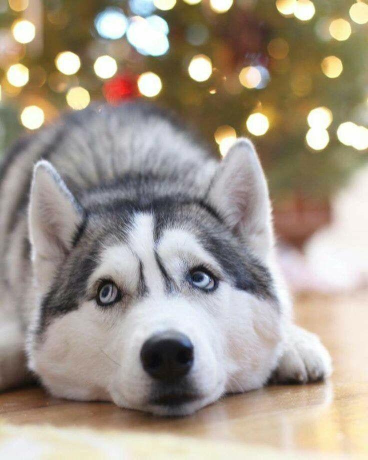 Weißer Langhaariger Hund - Weißer Langhaariger Hund