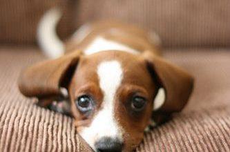 Wie Viele Hunderassen Gibt Es Auf Der Ganzen Welt 333x220 - Wie Viele Hunderassen Gibt Es Auf Der Ganzen Welt