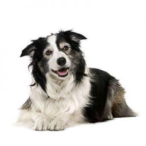 Wie Viele Hunderassen Gibt Es Weltweit 300x300 - Wie Viele Hunderassen Gibt Es Weltweit